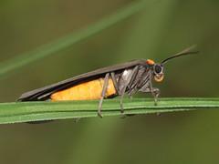 Atolmis rubricollis (Red-necked footman)