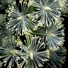 58619.19 Actaea racemosa (horticultural art) Tags: horticulturalart actaearacemosa actaea flowers bugbane closeup fireworks