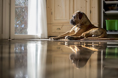 47/52 - The king of the house (Valentina Conte) Tags: porthos king boxer dog pet animal mirrored mirror floor double house home indoor sunlight 52weeksfordogs 4752 canon100d rebelsl1 valentinaconte