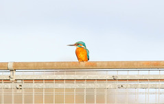 Kingfisher (male) (badger2028) Tags: kingfisher male alcedo atthis