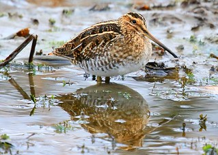 Wilson's snipe at Pool Slough IA 854A6726