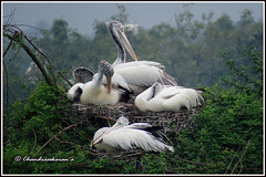 7357 - chicks of spotbilled pelican (chandrasekaran a 44 lakhs views Thanks to all) Tags: spotbilledpelican pelican chicks nelapattu ap india sanctuary canon powershotsx60hs