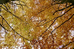 Looking up (polletjes) Tags: beuk fagus tree trees boom bomen bos forest wood bois natuur nature herfst autumn automne herbst najaar nederland netherlands leaf leaves yellow jaune geel gelb