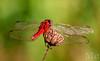 Libelle (holest33) Tags: dragonfly damselfly libelle odonata
