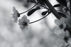 spring fantasy (eva.pave) Tags: flower bloom blossom tree plant nature park bw blackandwhite dof bokeh monochrome spring beijing china