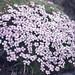 Silene acaulis, Gribun Cliff, Loch Na Keal, Mull