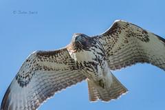 Red-tailed Hawk 20171031_6021 (GORGEous nature) Tags: buteojamaicensis clarkco hawks raptors redtailedhawk ridgefieldnwr vertebrates washington bird fall flying predator wetland october ©johndavis