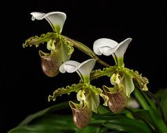 Frauenschuheeee (ulrichcziollek) Tags: blume flower fleur orchidee orchideen frauenschuh ladys slipper