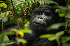 Looking Into Their Eyes, A Moment You Will Never Forget (pbmultimedia5) Tags: mountain gorilla impenetrable forest national park uganda wildlife animal nature portrait afriica green pbmultimedia rare sighting bwindi