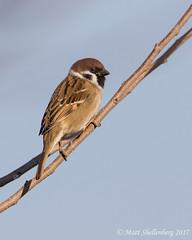 Eurasian Tree Sparrow (Matt Shellenberg) Tags: eurasian tree sparrow eurasiantreesparrow
