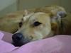 Do not disturb (Mark V.I) Tags: nikon nikond3200 d3200 nikkor 1855 dog pet mascota perro can canine canino bed portrait animal hair closeup acercamiento retrato