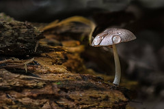 All Alone - 101317-084224 (Glenn Anderson.) Tags: fungus mushroom macro closeup d750 tamronlens outdoor spores forest nature wood woodrot bokeh cliffsoftheneusestatepark natural