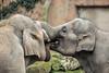 Asiatic elephants BlijdorpZoo (K.Verhulst) Tags: olifanten olifant elephant elephants aziatischeolifanten asiaticelephants blijdorp blijdorpzoo diergaardeblijdorp rotterdam coth5 ngc