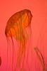 How Long Can This Go On? (Thomas Hawk) Tags: america chicago cnidaria cookcounty illinois johngsheddaquarium museumcampuschicago sheddaquarium usa unitedstates unitedstatesofamerica aquarium jellies jellyfish fav10