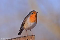 Pettirosso _016 (Rolando CRINITI) Tags: pettirosso uccelli uccello birds ornitologia tricerro natura