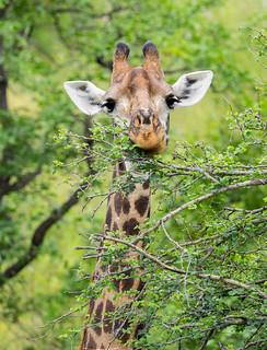 Southern Giraffe - Giraffa camelopardalis