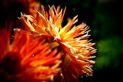 Dahlia (Carandoom) Tags: 2017 germany allemagne frankfurt francfort flowers fleurs botanic garden jardin botanique palmengarten fleur macro dahlia brillant