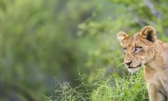 Lion cub (Sheldrickfalls) Tags: lion lioncub cub sabisands nottensbushcamp krugernationalpark kruger krugerpark mpumalanga southafrica