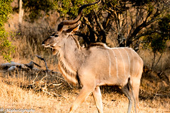 Nyala - Kruger National Park, South Africa -Summer 2017-717.jpg (jbernstein899) Tags: africa krugernationalpark southafrica nyala safari bush