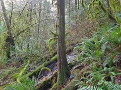 A brook, a tree and ferns (walneylad) Tags: capilanoriverregionalpark northvancouver westvancouver britishcolumbia canada capilanoriver canyon park parkland urbanpark forest rainforest urbanforest woods woodland evergreen trees ferns rocks trail path green brown clouds greysky fog mist december fall autumn afternoon view nature scenery brook stream waterfall