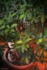 IMG_3874 (Protty coniglio nano) Tags: coniglio conigli castoro protty coniglietto coniglionano