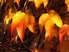 P1100142 Herbst Fall Autumn (Traud) Tags: germany deutschland bavaria bayern blätter leaves herbst fall autumn coloured 7dwf