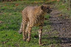Cheetah (Gepard) (roland_zink) Tags: animal kronbergimtaunus hessen deutschland deu