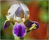 171110-1 (sz227) Tags: blüte blumentag blume freitagsblume iris sz227 zackl sony sonyilca77m2