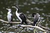 Zealandia ~ Shag (whitebear100) Tags: zealandia wellington nz newzealand 2017 northisland shag