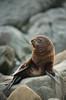 Baby seal (mr_Alex_Turner) Tags: red pacificoceancoastline babyanimal babyseal pacificocean newzealand