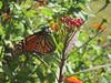 monarch (Carolina Victory) Tags: butterfly poetswalk hillsborough nc