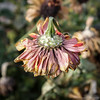 Fall is here   Seattle, WA   November 2017 (Paul David Gibson) Tags: autumn fall flower nature seattle usa washington westseattle