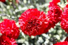 Temps de flors_0100 (Joanbrebo) Tags: girona catalunya españa es tempsdeflors tempsdeflors2017 flors flores flowers fleur fiori blumen blossom canoneos80d eosd efs1018mmf4556isstm autofocus