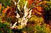 Mystery Tree 1 (barbarasingler) Tags: blackforrest gemany nautre