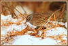 Accenteur mouchet 171215-02-P (paul.vetter) Tags: oiseau ornithologie ornithology faune animal bird accenteurmouchet prunellamodularis dunnock acentorcomún ferreirinha heckenbraunelle