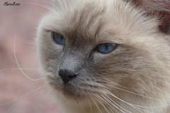 Chat aux yeux bleus (BPBP42) Tags: chat cat katze animal