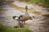 Mother Duck (Jeremy Vickers Photography) Tags: norfolk mother parent chicks family cute stream ducks protective guardian nature wildlife