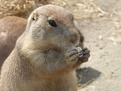 Snacking (m_artijn) Tags: blijdorp zoo rotterdam prairie dog eating cute