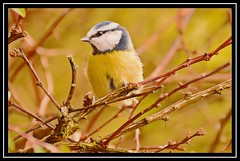 """Blue Tit Posing..."" (NikonShutterBug1) Tags: nikond7100 tamron70300mm birds ornithology wildlife nature spe smartphotoeditor birdfeedingstation bokeh birdsfeeding bluetit 7dwf"