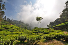 India - Kerala - Munnar - Tea Plantagen - 215 (asienman) Tags: india kerala munnar teaplantagen asienmanphotography