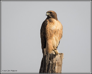 Red-tailed Hawk 7994