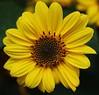 Sun (LuckyMeyer) Tags: sunflower sonnenblume sun flower fleur summer garden makro yellow