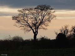 tree on my horizon (mark.griffin52) Tags: olympusem5 england buckinghamshire cheddington autumnlight hedgerow silhouettes tree landscape