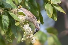 Little Friarbird (Philemon citreogularis) (Ian Colley Photography) Tags: littlefriarbird philemoncitreogularis bingara bird canoneos7dmarkii ef500mmf4lisusm