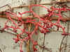 """""""leergeräumt"""" (Jörg Paul Kaspari) Tags: trier herbst autumn fall wilderwein parthenocissus parthenocissustricuspidata veitchii selbstkletternder beton betonwand wall mauer geerntet"""