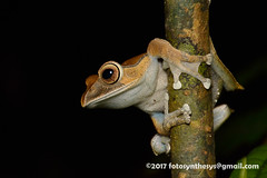 Frog (Boophis madagascariensis) DSC_3505 (fotosynthesys) Tags: boophismadagascariensis mantellidae frog amphibian madagascar