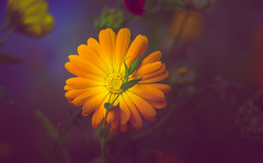 Marigold (Dhina A) Tags: sony a7rii ilce7rm2 a7r2 kaleinar mc 100mm f28 kaleinar100mmf28 5n m42 nikonf russian ussr soviet 6blades marigold flower bokeh