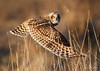 Short Eared Owl (Chris Parmeter Photography) Tags: short eared owl bird nature animal field grass detail feathers washington golden nikon d500 sigma 150600mm ngc