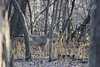 White-tailed deer (U.S. Fish and Wildlife Service - Midwest Region) Tags: deer fortsnelling statepark minnesota mn fall november 2017 whitetailed whitetaileddeer buck male antlers animals nature wildlife forest woods trees hunt hunting