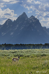 Teton Pronghorn_T3W0717 (Alfred J. Lockwood Photography) Tags: alfredjlockwood nature wildlife wildscape backlight grandtetonnationalpark grandteton middleteton teewinot valley field grasses rockymountains clouds afternoon wyoming summer